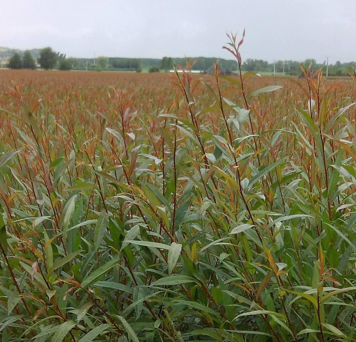 champ d'osier en sud Gironde