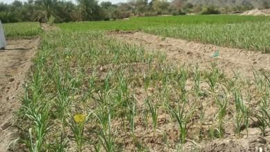 صورة دراسات تكشف نتائج مهمة عن الزراعة في الباطنة وتوصي باستئجار المزارع من قبل الشركات
