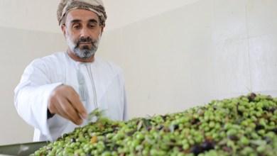 Photo of بيع زيتون عُماني بـ 160 ألف ريال