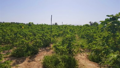 صورة بالصور: عُماني ينجح في زراعة تين طعمه عسلي ولذيذ