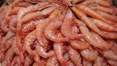 صورة قريبًا: بدء حظر صيد الربيان لمدة 9 أشهر