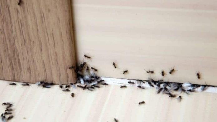 Ποια η φυσική μυρωδιά που δεν αντέχουν με τίποτα οι κατσαρίδες και τα μυρμήγκια