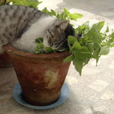 Gatto con erba gatta