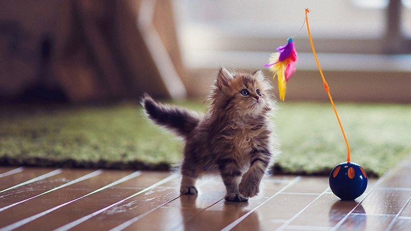 cat behaviour playing