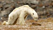 Ο αργός θάνατος μιας πολικής αρκούδας
