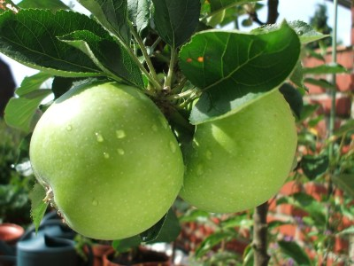 grow apples