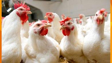 pollos, gallinas