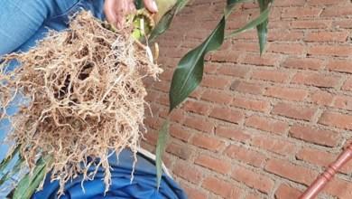 maíz,raíz, Agricultura Sustentable