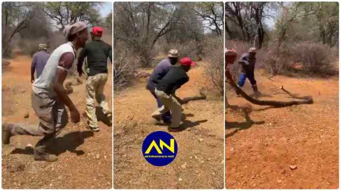 Video of 3 South African Men dragging a huge snake