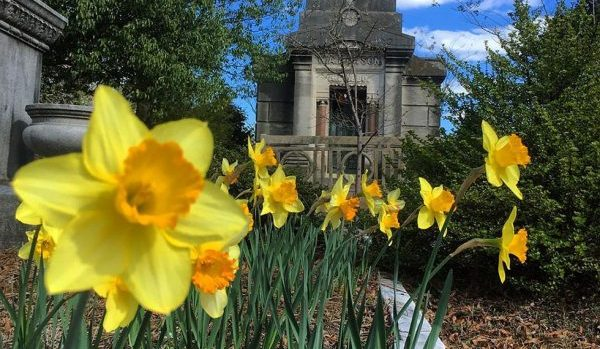 Daffodils at Oakland Cemetery