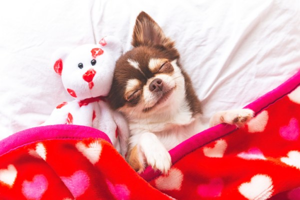 Cute puppy sleeping with his Valentine blanket and stuffed bear