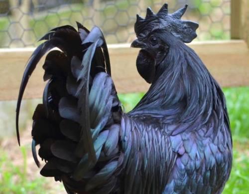 Ayam Hitam Legam Asli Indonesia ini Jadi Tren di …