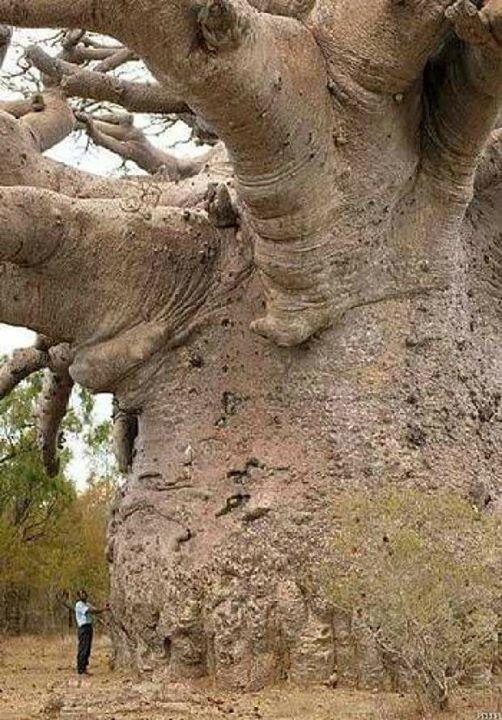 Pohon usia 6000 thn di afrika