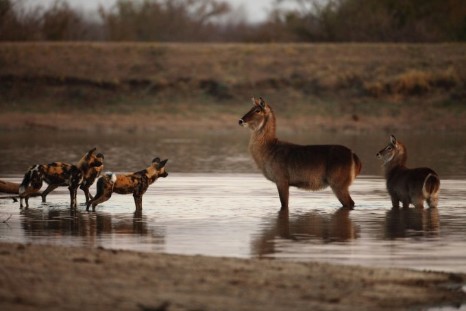 116+STANDOFF+BETWEEN+AFRICAN+WILD+DOGS+AND+WATERBUCK+COW+AND+CALF,+NGALA+PRIVATE+GAME+RESERVE,+SOUTH+AFRICA (1)