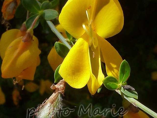 Cytise à grandes fleurs