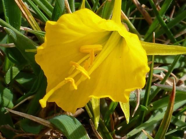 Narcisse trompette (jaune), narcisse bulbocode