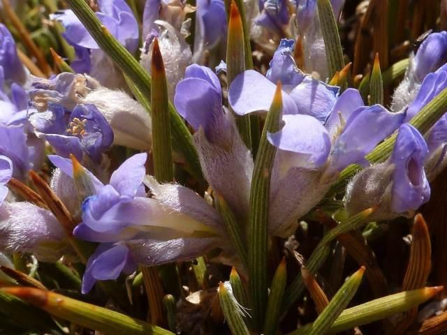 Erinacée anthyllis , cytise hérisson
