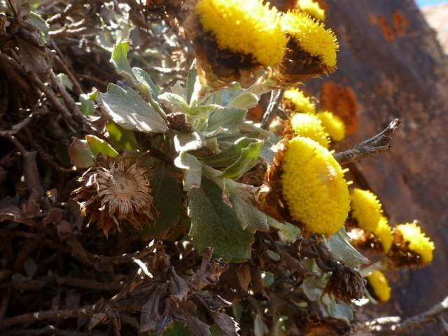 Aliella à feuilles plates