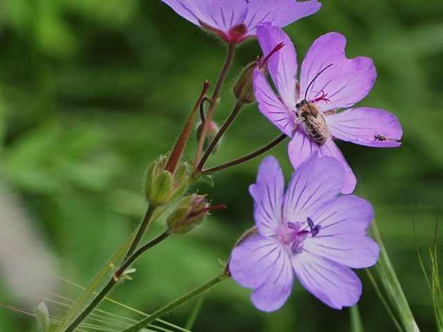 Géranium à fleurs de mauves