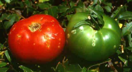 Atlas Of Plant Pathogenic Bacteria Appb Vegetables
