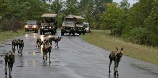 Savour The Splendours Of Safari