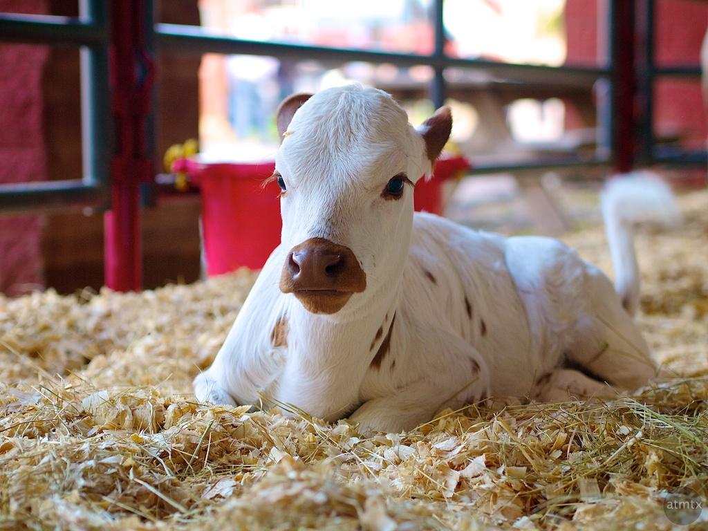 Cute Calf, Rodeo Austin