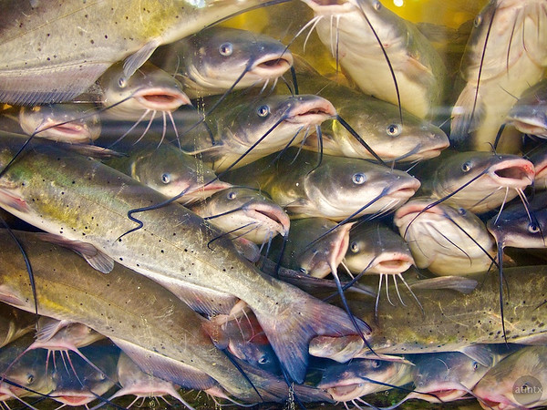 Catfish packed like sardines, Chinatown Center - Austin, Texas