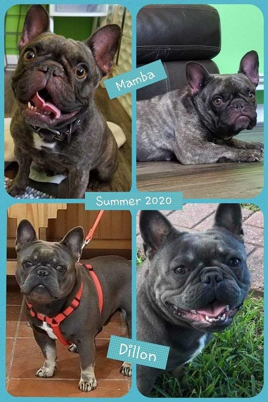 French Bulldog Puppies Dallas : french, bulldog, puppies, dallas, Texas, French, Bulldog, Breeders, Blue,, Chocolate,, Lilac,, Puppies