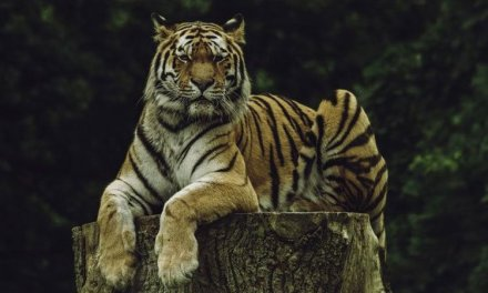 Essay on Wild Animal Tiger for School Kids & Students in English