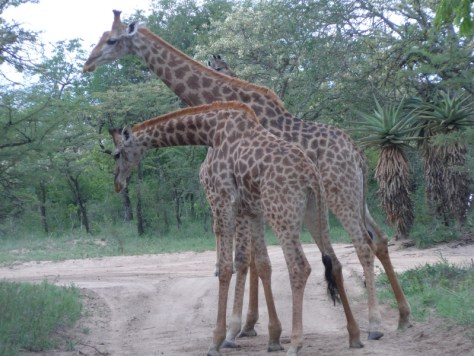 Girafas no Phelwana Game Lodge