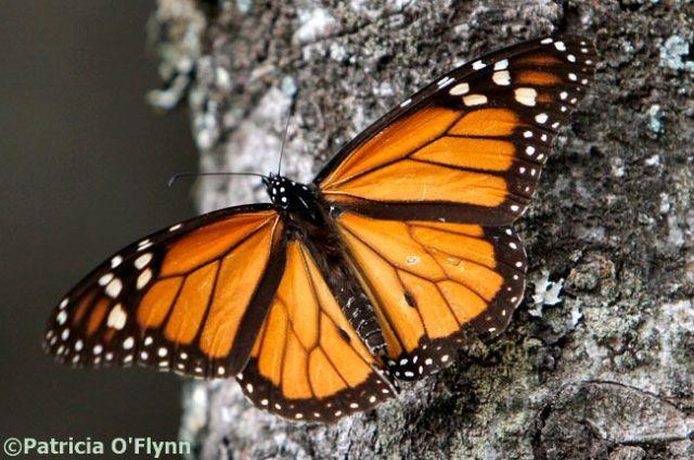 20130314_monarch-butterfly_33