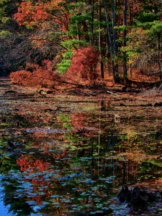 The fall colors vary from the evergreens to the bushes to maples and birch. Harold Parker State Forest, which lies in Andover, North Andover, North Reading and Middleton, comprises just over 3,000 acres of Central Hardwood-Hemlock-White Pine type of forest. Recreational opportunities include hiking, mountain biking, fishing, hunting, horseback riding, camping and picnicking.