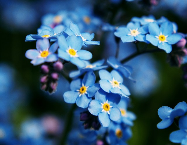 forget-me-not_Fotor hk
