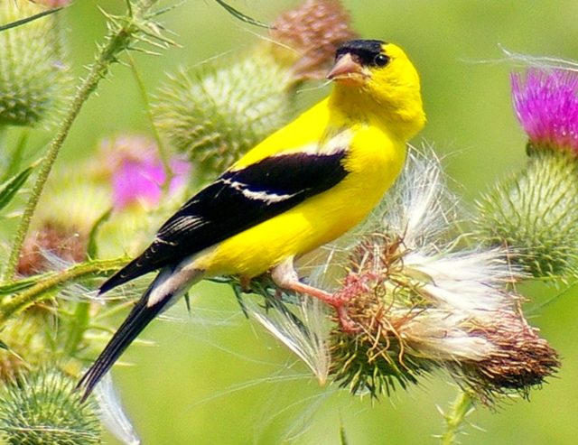 gold-finch-american_fotor