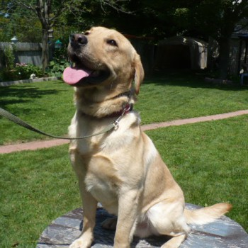 Accelerant Detection Dog for Sale