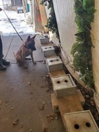 Detection Dog for sale