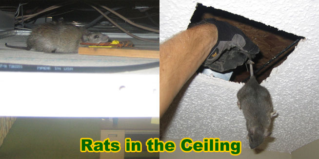 how to get rid of smart rats