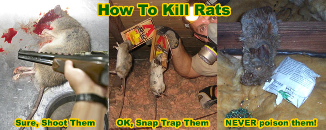 Image result for How to Control Rat Ingestion in The House?