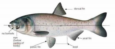 asiaticcarp