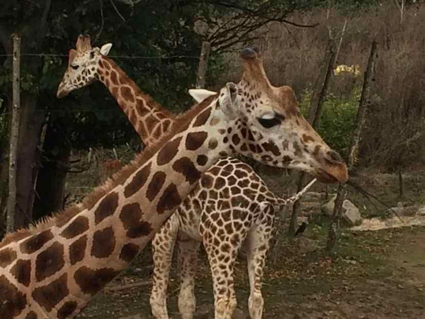 Chessington World of Adventures Resort - Giraffes