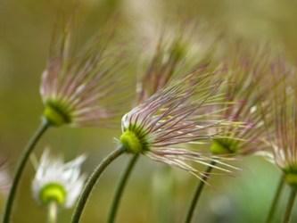 Blown daisies