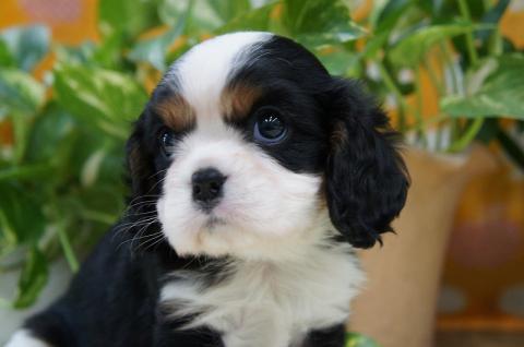 キャバリアブリーダー子犬