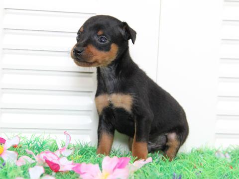ミニチュアピンシャー・ブラックタン子犬