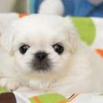 ペキニーズ子犬
