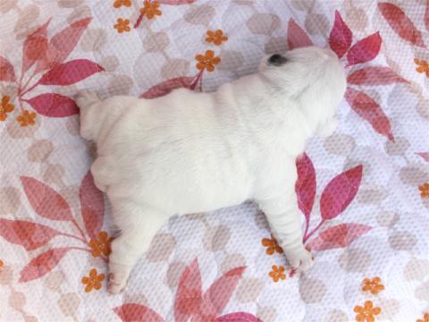 ブルドッグ子犬