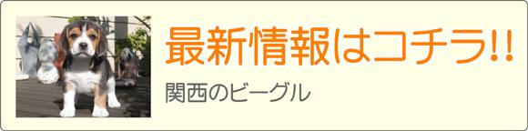 関西ビーグルブリーダー最新子犬販売情報