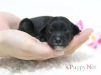 【出産速報】大阪府で希少なミックス犬(ハーフ犬)チャイプーが誕生しました!