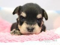 和歌山市(関西)ミニチュアシュナウザー子犬|2015.4.27生ブラック&シルバー・オス|ID: 150521111820