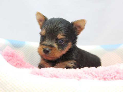 ヨークシャーテリア(ヨーキー)子犬