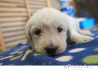 三重県(関西)ラブラドゥードルブリーダー子犬|2015.5.20生・クリーム・メス|ID: 150615172604
